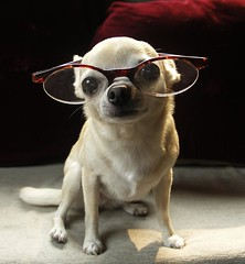 My Little Scholar, Pearl (Laurie York) Tags: dog chihuahua love glasses bravo pearl feelings foureyes happyfurryfriday mywinners goldstaraward rubyphotographer professorpearl