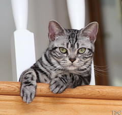 Meet Chubby (Tabbie-cats) Tags: portrait pet black green girl beautiful animal female silver hongkong eyes kitten chat pretty stripes balcony gorgeous americanshorthair tabby gato stare paws lovely chubby lyingdown classicsilvertabby bestofcats impressedbeauty bocwinner boc0708
