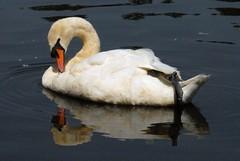 swan (Vesuvianite) Tags: bird vancouver swan stanleypark reflexions