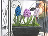 Hyacinth In Tin