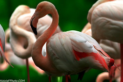 flamngo (NaWaFoOo) Tags: bird birds flickr kuwait q8 nawaf      flamngo  kwtphoto  nawafooo  q8photo    q8photos nawafalsaleh