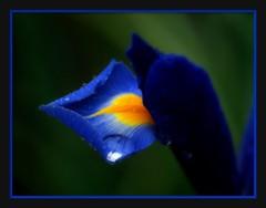 Take a bow (brynmeillion - JAN) Tags: blue iris flower wales fdsflickrtoys bravo cymru petal bow take ceredigion soe glas raindrop blodyn gellhesg takeabow glaw naturesfinest newcastleemlyn flowerotica 70000views bej fineartphotos abigfave nikond80 infinestyle cilgwyngardens theperfectphotographer flickrbestpics gerdducilgwyn
