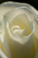 Innocent (Rose 2008_22) (dolphin_dolphin) Tags: white flower macro rose japan wonder sapporo topv333 excellence naturesfinest blueribbonwinner odoripark supershot flickrsbest mywinners abigfave platinumphoto impressedbeauty macrophotosnolimits theunforgettablepictures adoublefave macromarvels