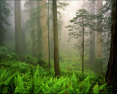 Redwood fog. (Komkrit.) Tags: park wood usa fern field fog velvia national 4x5 redwood 50 120mm kbcanham komkrit