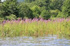 湖上に咲く紫色の花
