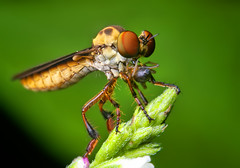 Robber Fly (Holcocephala fusca) Eating a Spider (Thomas Shahan) Tags: macro green k vintage bug insect lens prime fly diy eyes close asahi pentax takumar zoom flash small 28mm tubes robberfly prey extension reversed dslr predator ist smc vivitar softbox dl diffuser antennae robber opo entomology macrophotography bayonet compund thyristor terser justpentax