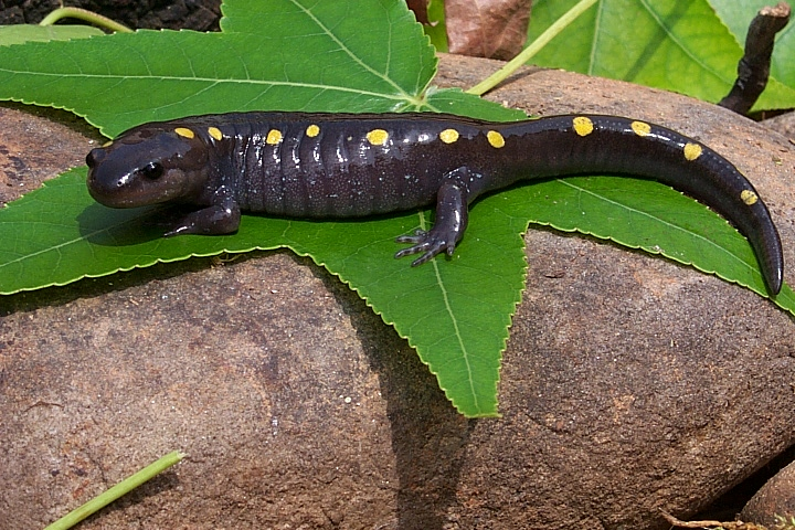 spotted_salamander.jpg