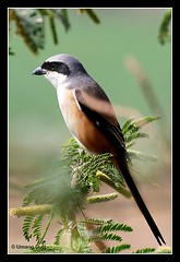 Rufous-backed Shrike (Lanius schach) -erythronotus race