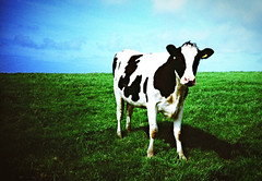Lomo cow (MrLomo) Tags: blue england sky white black green field grass cow lomo lca xpro lomography crossprocessed cornwall beef lomolca moo meat  agfaprecisact
