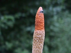 Mutinus caninus - Dog Stinkhorn (Barry at LM) Tags: suffolk fungi fungus stinkhorn mutinus caninus
