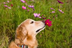 The scent of cosmos (tarotosh) Tags: dog flower goldenretriever golden sapporo hokkaido retriever 北海道 cosmos goldenretrievers coth