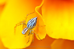 Striped Lynx Spider (John Cothron) Tags: plants white color nature yellow georgia spider stripes arachnid pistil petal stamen bloom marigold 8legs cultivatedflower archnida johncothron oxyopessalticus stripedlynxspider cothronphotography