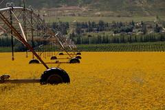 Harvest (NasB) Tags: southafrica harvest cape mustard sarson mustardfields