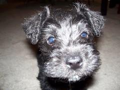 Extreme Closeup, Miniature Schnauzer Puppy