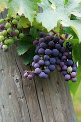 The color of taste (cins_city) Tags: vines purple wine grapes napavalley aplusphoto grgichhillsestate