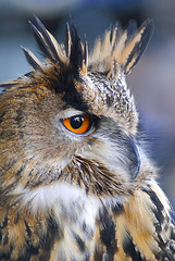 eagle owl (Carl Scott) Tags: orange brown white black reflection eyes eagle feathers ears piercing owl prey stark striking eurasian soe bubo bubobubo strigiformes eagleowl strigidae blueribbonwinner flickrsbest photographyrocks mywinners abigfave platinumphoto diamondclassphotographer flickrdiamond theunforgettablepictures theperfectphotographer goldwildlife goldstaraward distinguishedraptors spiritofphotography rubyphotographer damniwishidtakenthat jediphotographer dragondaggerphoto flickrsmasterpieces