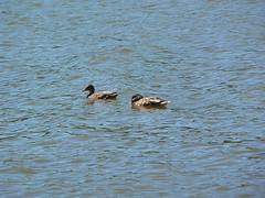 P1000032 (MeRyan) Tags: public birds rivers