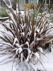 Phormium Snow