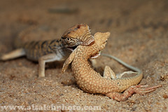 MEAL TIME !! (MOHAMMED AL-SALEH) Tags: lizard