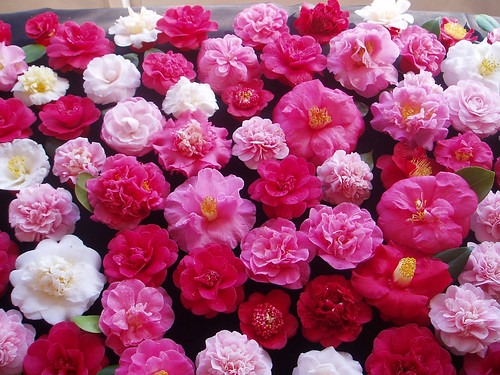 real camellia flowers