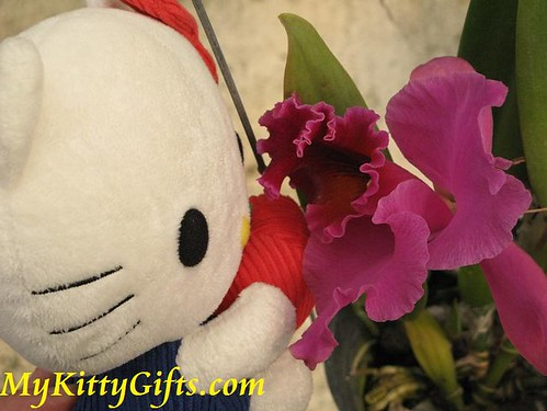 Hello Kitty's View of Purplish-red Orchid in Hong Kong Orchid Trip