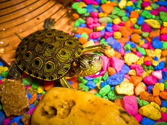 And.. Breathe (Alfonsina Blyde ) Tags: pet color water colors mi de agua turtle colores hermano breathe tortuga mascota piedras respirar