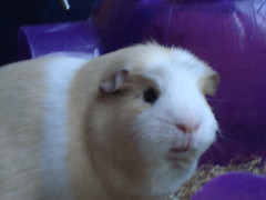 My Guinea Pig (zarasphotography) Tags: guinea pig harry sonycybershot