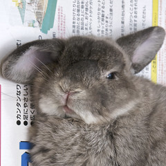 Andora's sexy sleepy face (jade_c) Tags: pet rabbit bunny animal mammal singapore opal  hollandlop andora  lagomorph opalhollandlop