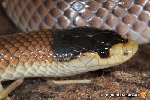 Dwyer's snake (Parasuta dwyeri)