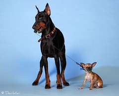 Devvu & Rince (Devilstar) Tags: dog chihuahua cute studio big holding funny top small maja doberman leash pinscher biene beke thefunhouse dobermann koer koerad rerih hainide tekiche