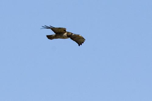 Red-tailedHawkEmiquon01312009JGWardIMG_9824
