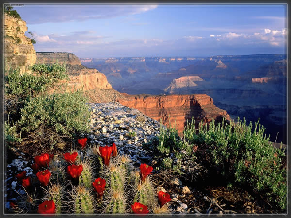 cactus_grand_canyon