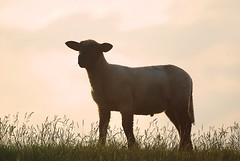 lonely fellow (rafischatz... www.rafischatz-photography.de) Tags: sunset nature grass animal sheep pentax dyke tamron70300 k200d