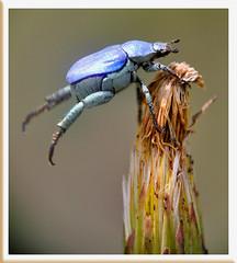 On s'accroche - Vaison-la-Romaine (Vaucluse) (Charlottess) Tags: provence vaucluse scarabée hoplie