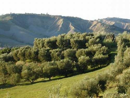 Gli olivi a Brisighella