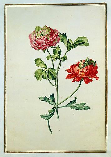 020-tulipan 20-Karlsruher Tulpenbuch - Cod. KS Nische C 13- Badische LandesBibliotheK