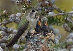 Anna's Hummingbird Nest (Ron Wolf) Tags: california bird nature hummingbird nest wildlife trochilidae calypteanna naturesfinest ucscarboretum