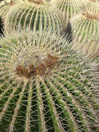 valencia-cactus