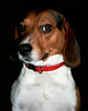 Larry the Wary (and poem) (faith goble) Tags: red fab portrait rescue dog art beagle animal puppy photo artist poem photographer bluegrass kentucky ky yes faith photograph larry creativecommons poet writer collar silvermedal soe suspicious wary artcafe tacomaartmuseum bowlinggreenky goble hongkongphotos bej golddragon bowllinggreen ultimateshot diamondclassphotographer flickrelite thatsclassy overtheexcellence originalpoem theperfectphotographer goldstaraward articulateimages faithgoble photographforpainting worldglobalaward globalworldawards grafixer ccbyfaithgoble gographix faithgobleart