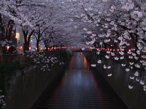 meguro river in bloom at night
