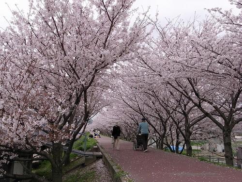 桜の道を散歩する