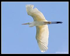 Great Egret (Rey Sta. Ana) Tags: wild bird birds photography ana wildlife philippines manila rey avian sta palawan philippine wildbirds mantarey candaba staana