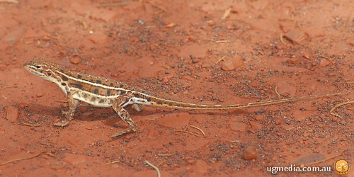 Central military dragon (Ctenophorus isolepis isolepis)