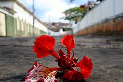 flor de flamboyant por Fabiana Velôso