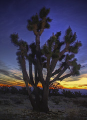 Good Morning Joshua (βlυεþhœηιχ) Tags: california sky orange yellow sunrise purple desert joshuatree mojave aplusphoto