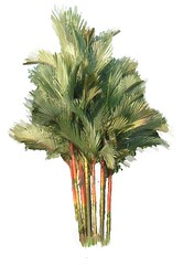 cyrtotachys renda (rhmn) Tags: red tree palms landscaping plans ideas renda cyrtotachys