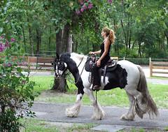 San and D'Jango (The Pelton Vanners Gypsy Vanner Horses) Tags: gypsyvanner gypsyhorse gypsycob