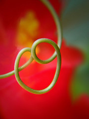 Smiley vine (tanakawho) Tags: red plant flower macro green nature spiral dof bokeh smiley begonia passionflower naturesfinest tanakawho flickrchallengegroup flickrchallengewinner