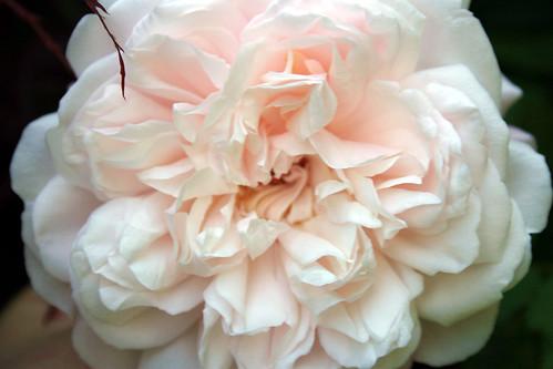 Grus en Achen Rose