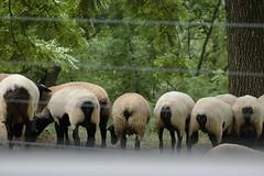 Sheep dip (HnyBny1969 (Regina)) Tags: sheep butt thefrontporch theloveshack impressedbeauty newacademy